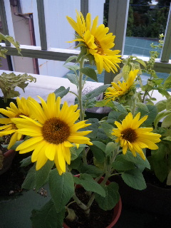 0907sunflower.JPG